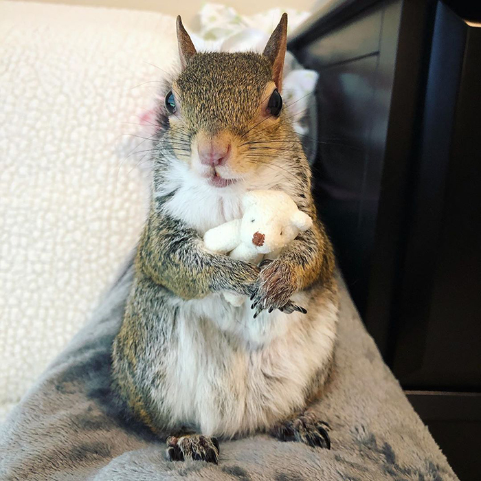 Rescue Squirrel Cuddles With Her Tiny Teddy Bear