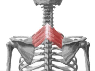 Músculo serrato posterior superior remarcado de rojo