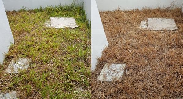 Sembur Sekali, Seminggu Kemudian Rumput Mati & Mudah Dicabut - Lebih 31,000 Netizen Share Tips Ini