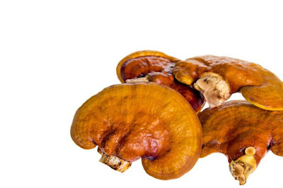 Reishi Ganoderma Mushroom Training Center Maharashtra