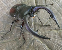 The stag beetle with its deadly looking pincers
