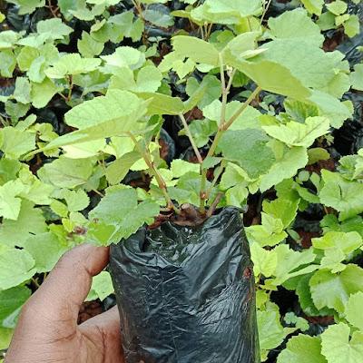 Grapes seedlings for sale at Richfarm kenya