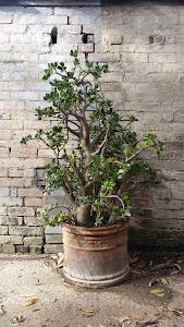 """""""Crassula ovata - pestovaná ako stromček."""""""