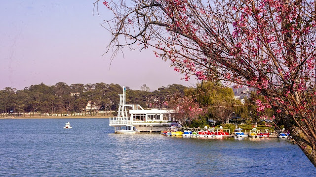 Da Lat cherry blossoms welcome Lunar New Year 3