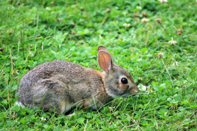 Rabbits can be pets and also have been used as food. In some places, they are vermin because they multiply so efficiently.