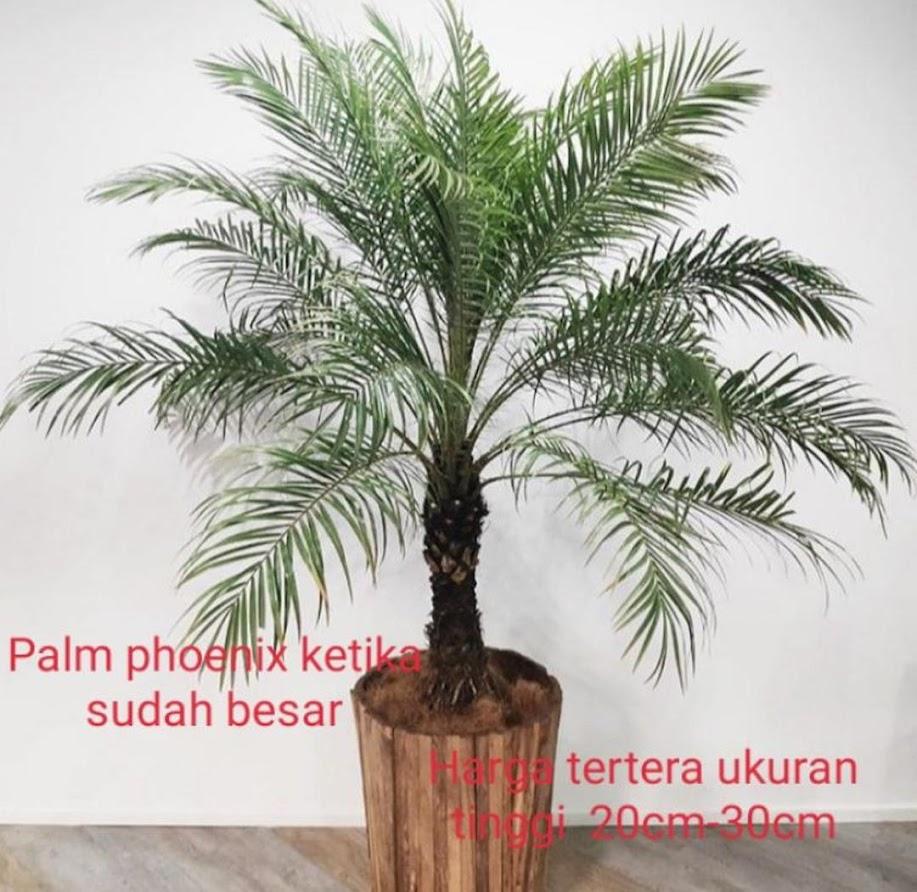 Palem phoenix ponix ponik bibit tanaman hias pohon palm Jawa Timur