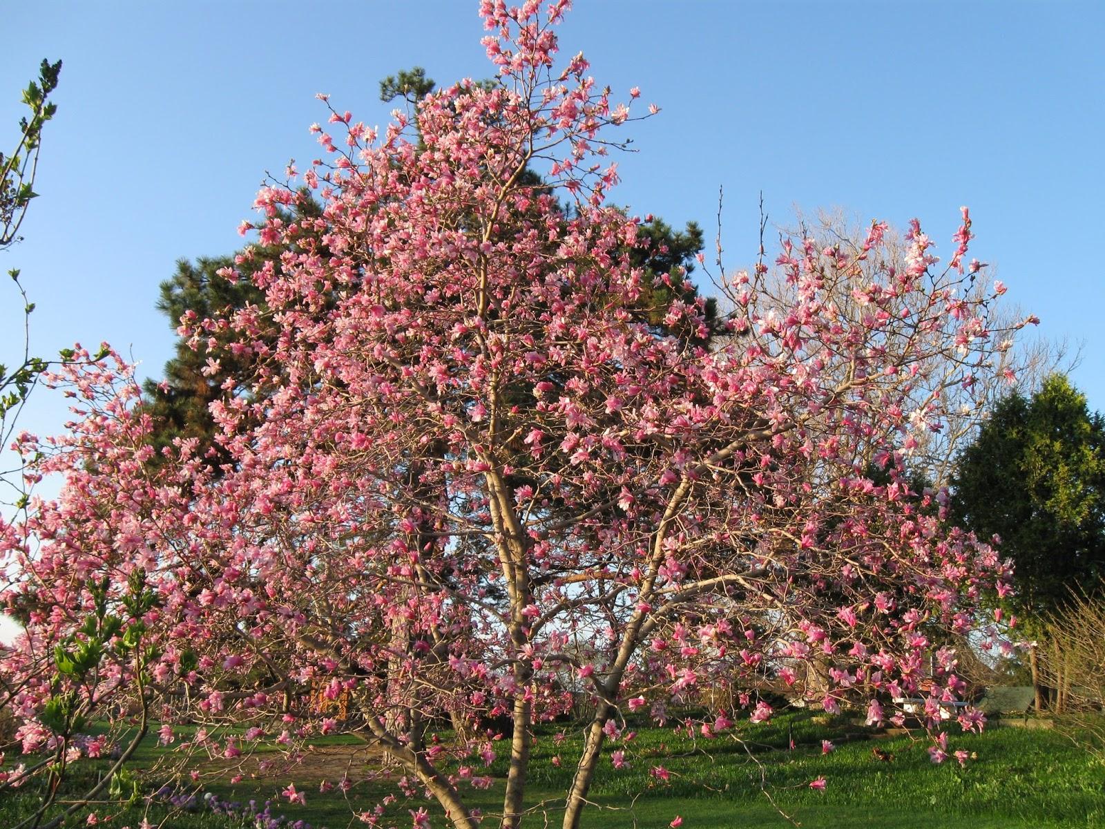 Garden dream magnolia tree propagation for Magnolia tree