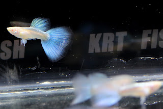 Jual Blue Sky Guppy,  Harga Blue Sky Guppy,  Toko Blue Sky Guppy,  Diskon Blue Sky Guppy,  Beli Blue Sky Guppy,  Review Blue Sky Guppy,  Promo Blue Sky Guppy,  Spesifikasi Blue Sky Guppy,  Blue Sky Guppy Murah,  Blue Sky Guppy Asli,  Blue Sky Guppy Original,  Blue Sky Guppy Jakarta,  Jenis Blue Sky Guppy,  Budidaya Blue Sky Guppy,  Peternak Blue Sky Guppy,  Cara Merawat Blue Sky Guppy,  Tips Merawat Blue Sky Guppy,  Bagaimana cara merawat Blue Sky Guppy,  Bagaimana mengobati Blue Sky Guppy,  Ciri-Ciri Hamil Blue Sky Guppy,  Kandang Blue Sky Guppy,  Ternak Blue Sky Guppy,  Makanan Blue Sky Guppy,  guppy breeding Blue Sky Guppy,  guppies for sale Blue Sky Guppy,  guppy care Blue Sky Guppy,  breeding guppiesBlue Sky Guppy,  male guppiesBlue Sky Guppy,  female guppiesBlue Sky Guppy,  guppy aquariumBlue Sky Guppy,  baby guppiesBlue Sky Guppy,  poecilia reticulataBlue Sky Guppy,  guppy tankBlue Sky Guppy,  guppy fryBlue Sky Guppy,  guppy giving birthBlue Sky Guppy,  how long do guppies liveBlue Sky Guppy,  guppysBlue Sky Guppy,  guppy guppyBlue Sky Guppy,  guppy foodBlue Sky Guppy,  guppy breeding tankBlue Sky Guppy,  fantail guppyBlue Sky Guppy,  guppy breedsBlue Sky Guppy,  guppy sBlue Sky Guppy,  wild guppiesBlue Sky Guppy,  guppy babiesBlue Sky Guppy,  guppy varietiesBlue Sky Guppy,  freshwater guppies Blue Sky Guppy,  guppy female Blue Sky Guppy,  tropical guppies Blue Sky Guppy,  female guppies for saleBlue Sky Guppy,  guppy priceBlue Sky Guppy,  raising guppiesBlue Sky Guppy,  guppies for sale onlineBlue Sky Guppy,  guppy infoBlue Sky Guppy,  buy guppies onlineBlue Sky Guppy,  guppy saleBlue Sky Guppy,  buy guppiesBlue Sky Guppy,  guppy diseasesBlue Sky Guppy,  guppies onlineBlue Sky Guppy,  caring for guppiesBlue Sky Guppy,  best food for guppiesBlue Sky Guppy,  food for guppiesBlue Sky Guppy,  blue guppyBlue Sky Guppy,  guppy breeding setupBlue Sky Guppy,  guppy birthBlue Sky Guppy,  guppy speciesBlue Sky Guppy,  gestation period for guppiesBlue Sky Guppy,  guppys onlineBlue Sky Guppy,  guppy care sheetBlue Sky Guppy,  guppy blue  Jakarta,  keeping guppies  Bandung,  guppies for sale cheap  Medan,  the guppy  Bali,  guppy breeding cycle  Makassar,  show guppies  Jambi,  thai guppy  Pekanbaru,  male and female guppies  Palembang,  what to feed baby guppies  Sumatera,  yellow guppy  Langsa,  guppy names  Lhokseumawe,  guppy gestation period  Meulaboh,  feeding guppies  Sabang,  guppy genetics  Subulussalam,  guppy show  Denpasar,  turquoise guppy  Pangkalpinang,  guppy fry care  Cilegon,  guppy games  Serang,  guppy gestation  Tangerang Selatan,  guppy colors  Tangerang,  guppy tank setup  Bengkulu,  trinidadian guppies  Gorontalo,  guppies having babies  Kota Administrasi Jakarta Barat,  guppy strains  Kota Administrasi Jakarta Pusat,  what do guppies eat  Kota Administrasi Jakarta Selatan,  what to feed guppies  Kota Administrasi Jakarta Timur,  guppy life span  Kota Administrasi Jakarta Utara,  how to care for guppies  Sungai Penuh,  guppy male and female  Jambi,  what is a guppy  Bandung,  guppy natural habitat  Bekasi,  german guppy  Bogor,  guppy poecilia reticulata  Cimahi,  guppy images  Cirebon,  images of guppies  Depok,  fishguppy  Sukabumi,  guppy facts  Tasikmalaya,  how many babies do guppies have  Banjar,  how big do guppies get  Magelang,  how to take care of guppies  Pekalongan,  fan tailed guppies  Purwokerto,  guppy pregnant  Salatiga,  guppy life cycle  Semarang,  temperature for guppies  Surakarta,  what are guppies  Tegal,  guppies restaurant  Batu,  guppy definition  Blitar,  guppy meaning  Kediri,  guppy size  Madiun,  define guppy  Malang,  guppy wiki  Mojokerto,  how do guppies give birth  Pasuruan,  baby guppys  Probolinggo,  guppies bar  Surabaya,  how many fry do guppies have  Pontianak,  guppy behavior  Singkawang,  how many babies does a guppy have  Banjarbaru,  where do guppies come from  Banjarmasin,  how do guppies reproduce  Palangkaraya,  what does guppy mean  Balikpapan,  what is guppy  Bontang,  types of guppy  Samarinda,  guppy guppies  Tarakan,  guppy house hours  Batam,  guppys on the go  Tanjungpinang,  guppys restaurant  Bandar Lampung,  guppies definition  Kotabumi,  do guppies eat their babies  Liwa,  gestation guppy  Metro,  bubble guppies  Ternate,  guppy  Tidore Kepulauan,  Blue Sky Guppy  Ambon,  Blue Sky Guppy  Tual,  Blue Sky Guppy  Bima,  Blue Sky Guppy  Mataram,  Blue Sky Guppy  Kupang,  Blue Sky Guppy  Sorong,  Blue Sky Guppy  Jayapura,  Blue Sky Guppy  Dumai,  Blue Sky Guppy  Pekanbaru,  Blue Sky Guppy  Makassar,  Blue Sky Guppy  Palopo,  Blue Sky Guppy  Parepare,  Blue Sky Guppy  Palu,  Blue Sky Guppy  Bau-Bau,  Blue Sky Guppy  Kendari,  Blue Sky Guppy  Bitung,  Blue Sky Guppy  Kotamobagu,  Blue Sky Guppy  Manado,  Blue Sky Guppy  Tomohon,  Blue Sky Guppy  Bukittinggi,  Blue Sky Guppy  Padang,  Blue Sky Guppy  Padangpanjang,  Blue Sky Guppy  Pariaman,  Blue Sky Guppy  Payakumbuh,  Blue Sky Guppy  Sawahlunto,  Blue Sky Guppy  Solok,  Blue Sky Guppy  Lubuklinggau,  Blue Sky Guppy  Pagaralam,  Blue Sky Guppy  Palembang,  Blue Sky Guppy  Prabumulih,  Blue Sky Guppy  Binjai,  Blue Sky Guppy  Medan,  Blue Sky Guppy  Padang Sidempuan,  Blue Sky Guppy  Pematangsiantar,  Blue Sky Guppy  Sibolga,  Blue Sky Guppy  Tanjungbalai,  Blue Sky Guppy  Tebingtinggi,  Blue Sky Guppy  Yogyakarta,