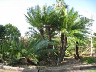 tanaman sikas