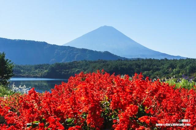 サルビアと富士山~西湖根場浜