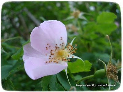 цветущий шиповник, цветок розоцветное, три
