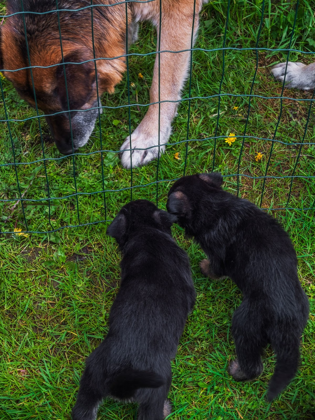 Two German Shepherd puppies sniffing at their dad behind the fence.