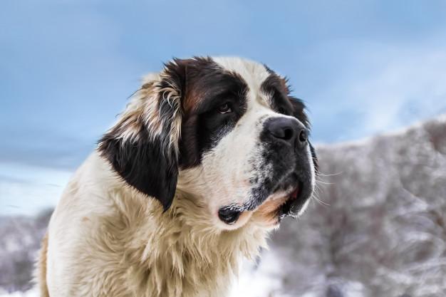 Las Razas de Perros Más Grandes del Mundo