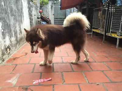 Bệnh viêm phổi ở chó Alaska