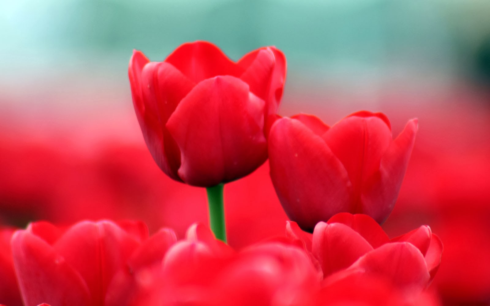 Wallpapers: Red Tulips Desktop Wallpapers