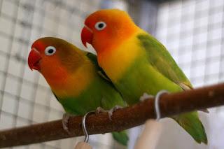 Jenis Lovebrid - Lovebrid Muka Merah (Agapornis Pullaria) - Penangkaran Burung Lovebrid