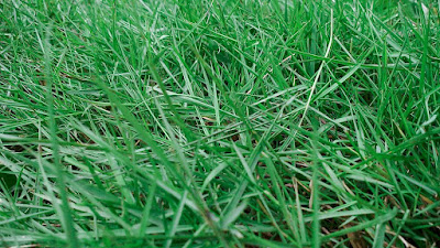 Jenis Rumput Taman Peking Dan Harganya