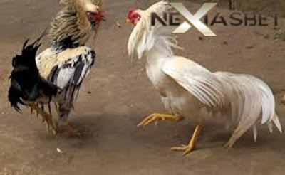 Adu Ayam Bangkok