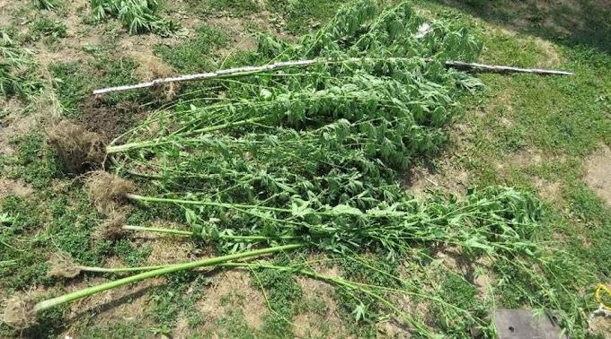 Az udvarán termesztett kannabiszt