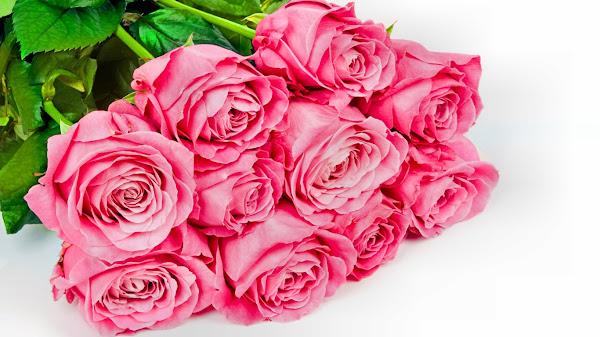 wallpaper bunga mawar pink