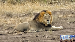 Afrique du sud Parc Kruger Lion