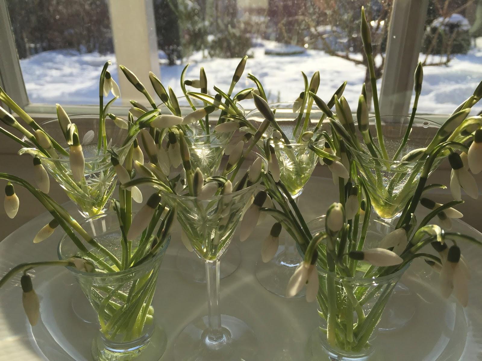 snödroppar helianthus galanthus