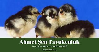 Marmara Ereğlisi civciv