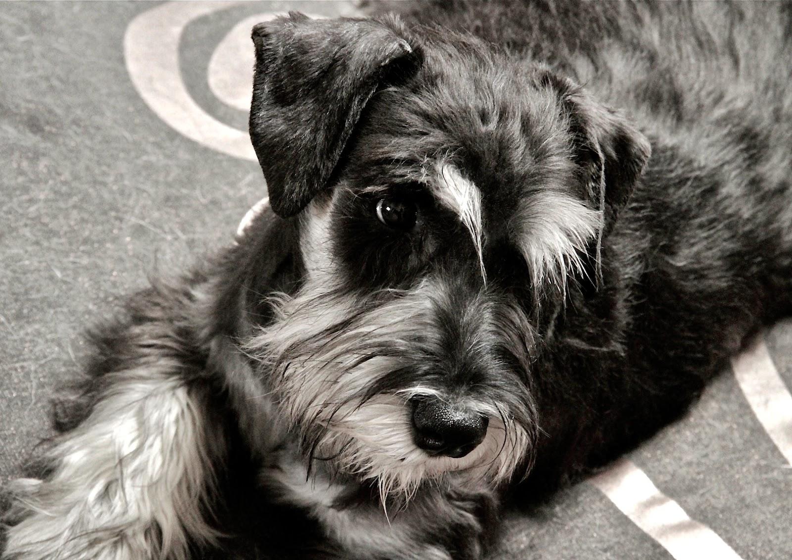 Cachorro de Schnauzer