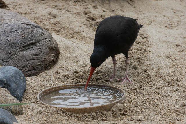 Its beak is a built-in drinking straw