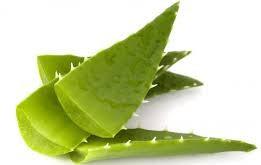 hojas de aloe vera cortadas