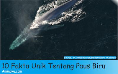 Fakta unik paus biru