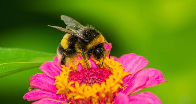 Curiosidade sobre Abelhas. Curiosidade sobre Abelhas. Curiosidade sobre Abelhas