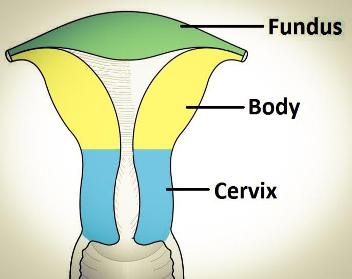 Uterus Parts