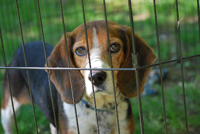 beagle in pen