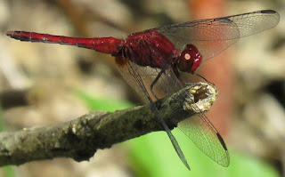 Erythrodiplax fusca, Red-faced Dragonlet