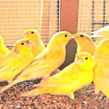 Harga Burung Kenari Terbaru 2018