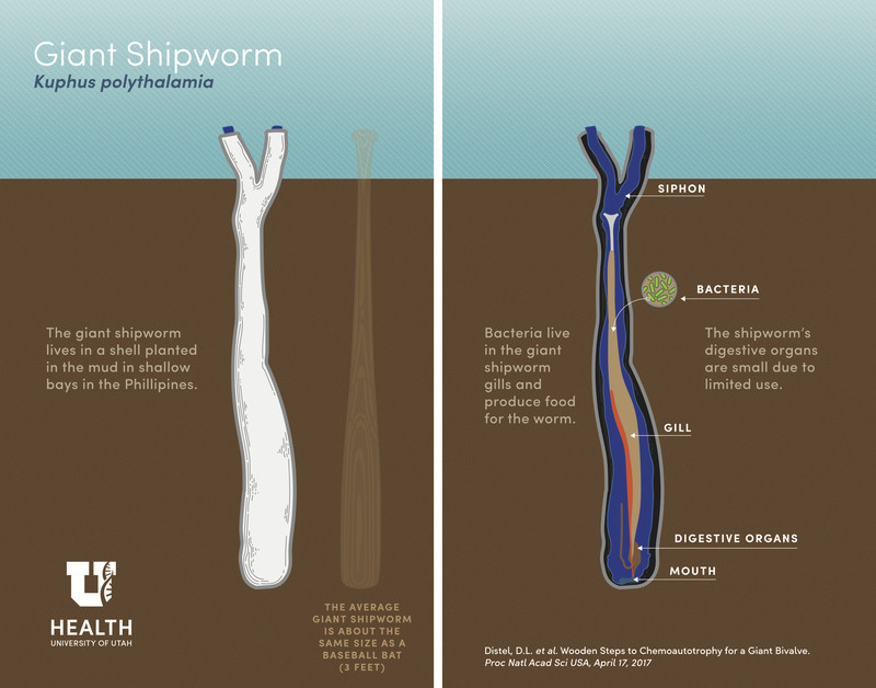 Giant Shipworm