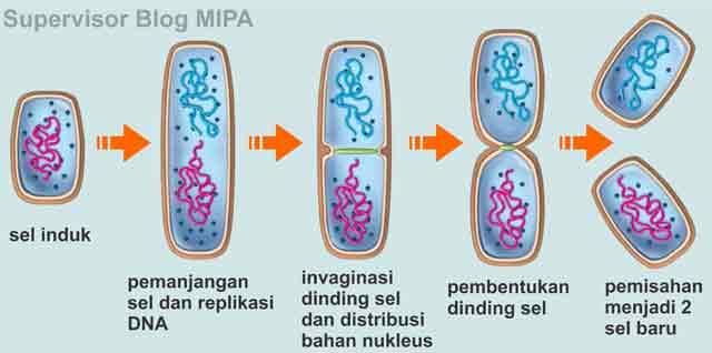 reproduksi atau perkembangbiakan bakteri secara vegetatif melalui pembelahan biner