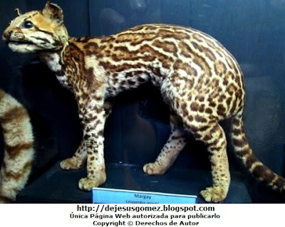 Foto del Margay del Museo de Historia Natural. Foto del margay de Jesus Gómez