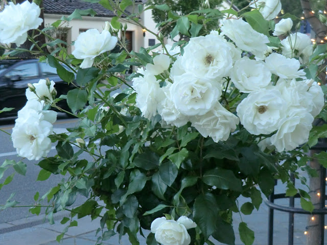 white roses blooming in garden