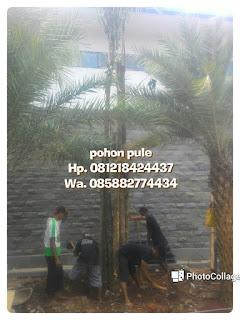 Kami tukang Taman murah menjual pohon peneduh pohon puleberbagai ukuran mulai Batang kecil hingga Batang besar dengan harga murah