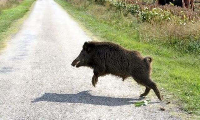 """Θεσπρωτία: """"Βόλτες"""" αγριογούρουνων στους δρόμους της Θεσπρωτίας..."""