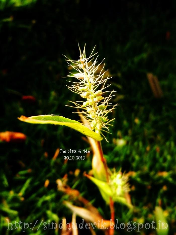 Grass flower stalk in the sunlight.