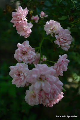 Pink Roses, Miniature