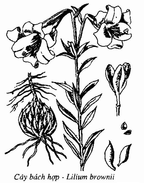 Hình vẽ cây BÁCH HỢP - Lilium broyvnii - Nguyên liệu làm thuốc Chữa Ho Hen
