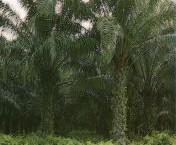 Gambar Perkebunan kelapa sawit