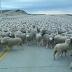 Τόσα πρόβατα δεν έχετε ξαναδεί!
