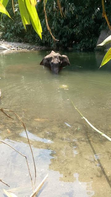 Gajah hamil yang tewas berdiri di atas sungai karena diberi makan nanas berisi petasan.