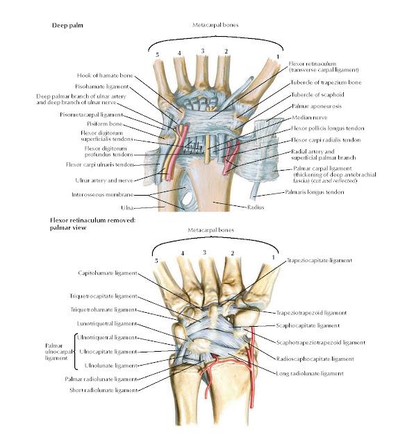 Ligaments of Wrist Anatomy