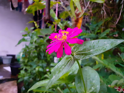 Common zinia